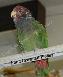Plum Crowned Pionus - Copyright: Queen's Pride Aviary